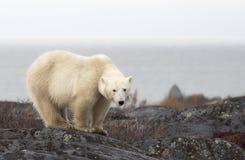 Polar bear. Close up image of a polar bear sow, standing along the banks of the Hudson Bay, on a boulder. Churchill, Manitoba, Canada stock photo