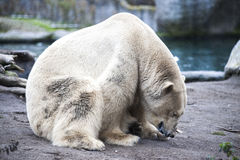 Polar bear close-up at the zoo. A large male polar bear walking in the zoo aviary. Royalty Free Stock Image
