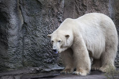 Polar bear close-up at the zoo. A large male polar bear walking in the zoo aviary. Royalty Free Stock Photo
