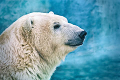 Polar bear closeup head shot Stock Images