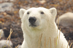 Polar Bear closeup portrait 1 Royalty Free Stock Photo