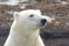 Polar Bear closeup portrait 2 Royalty Free Stock Image