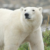Polar Bear closeup 1 Stock Images
