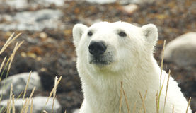 Polar Bear closeup Portrait 2 Stock Photography