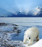 Polar bear on the coast. Polar bear on the winter coast Stock Photo