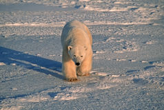 Polar bear in cold blue Arctic light. Large male polar bear in Canadian Arctic Royalty Free Stock Photo