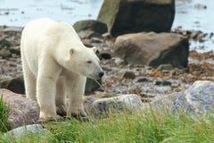 Polar Bear coming at shore 3 Royalty Free Stock Photography