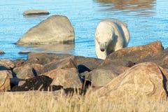 Polar Bear coming at shore 2 Stock Photo