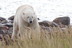 Polar Bear coming at shore 4 Royalty Free Stock Images