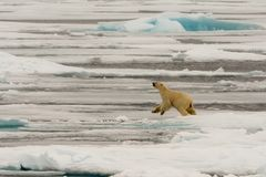 Polar Bear of the Ice Pack. The polar bear is considered a marine mammal because it spends a good deal of its life on the pack ice Stock Image