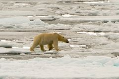 Polar Bear of the Ice Pack Stock Photo