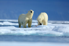 Polar bear couple cuddling on drift ice in Arctic Svalbard. Bear with snow and white ice on the sea. Cold winter scene with danger. Animals Stock Photos