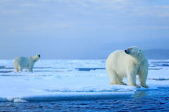 Polar bear couple cuddling on drift ice in Arctic Svalbard. Norway stock image