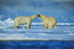 Polar bear couple cuddling on drift ice in artict Svalbard. Polar bear couple cuddling on drift ice in artict Royalty Free Stock Photography