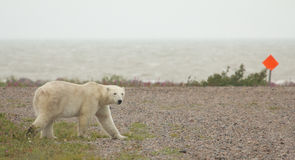 Polar Bear crossing 1 Stock Images