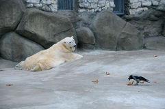 Polar Bear and Crow Stock Photos