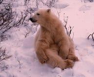 Polar bear cub. Of the year. Canadian Arctic Royalty Free Stock Photography