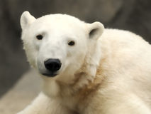 Polar bear cub Stock Images