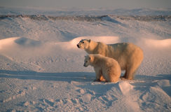 Polar bear and cub. Polar bear with her cub in Canadian Arctic royalty free stock photo