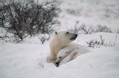 Polar bear and cub. Polar bear with her cub in snowbank after snowfall Royalty Free Stock Image