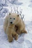 POlar bear cub. In Canadian Arctic Royalty Free Stock Photos