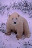 Polar bear cub. On Arctic tundra staring at photographer Royalty Free Stock Photo