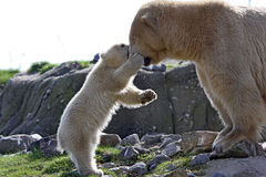 Polar bear with cub Stock Photos
