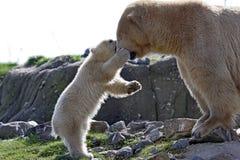 Polar bear with cub. Mom polar bear getting slapped by baby polar bear Stock Photos