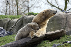 Polar bear with cub Stock Image