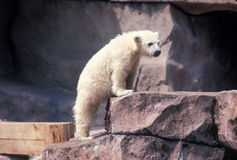 Polar Bear Cub. Standing Royalty Free Stock Images