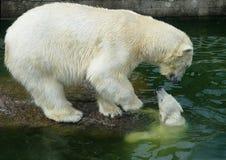 Polar bear with cub. First move of the polar bear cub Stock Image