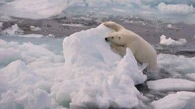 Polar Bear Cub. On the ice, Svalbard 2012 royalty free stock photography