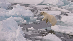 Polar Bear Cub. On the ice in the jump, Svalbard 2012 Stock Images