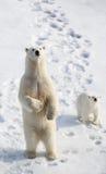 Polar Bear and Cub. Polar Bear standing while her cub looks on Royalty Free Stock Photos