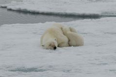 Polar Bear with cub Stock Photo