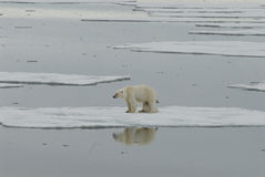 Polar bear with cub. The mother Polar Bear with cub resting on the ice Spitsbergen, Arctic 2006 royalty free stock photography