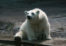 Polar Bear Cub. A polar bear cub (Ursus maritimus) at Moscow Zoo in Russia Royalty Free Stock Image