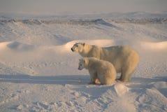 Polar bear and cub. Polar bear with her cub on the Arctic tundra Stock Photo