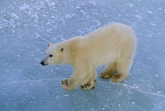 Polar bear cub Stock Photography