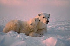 Polar bear and cub Stock Photos