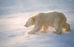 Polar bear cub Stock Image