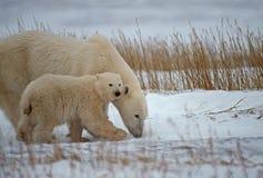 Polar bear and cub. Polar bear with her cub on the tundra.Canadian Arctic stock image