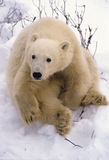Polar bear cub. Staring at photographer Stock Photos