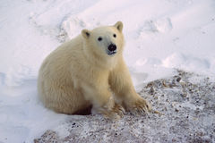 Polar bear cub. Poiar bear cub of the year sitting and staring at photographer Royalty Free Stock Photos