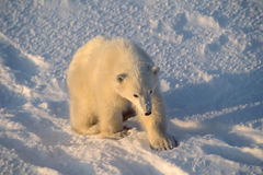 Polar bear cub. Very young polar bear cub in rare Arctic sunshine Royalty Free Stock Photography