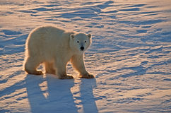 Polar bear cub. Of the year. Canadian Arctic Stock Photos