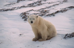 Polar bear cub. Sitting on Arctic tundra Royalty Free Stock Photography