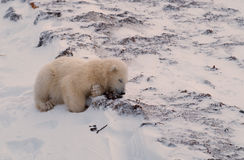 Polar bear cub. Of the year having a nap in Arctic snow bank Royalty Free Stock Image