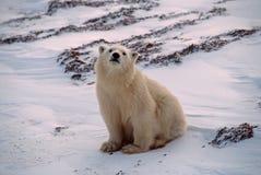 Polar bear cub Royalty Free Stock Images