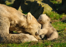 Polar bear and cub Royalty Free Stock Image